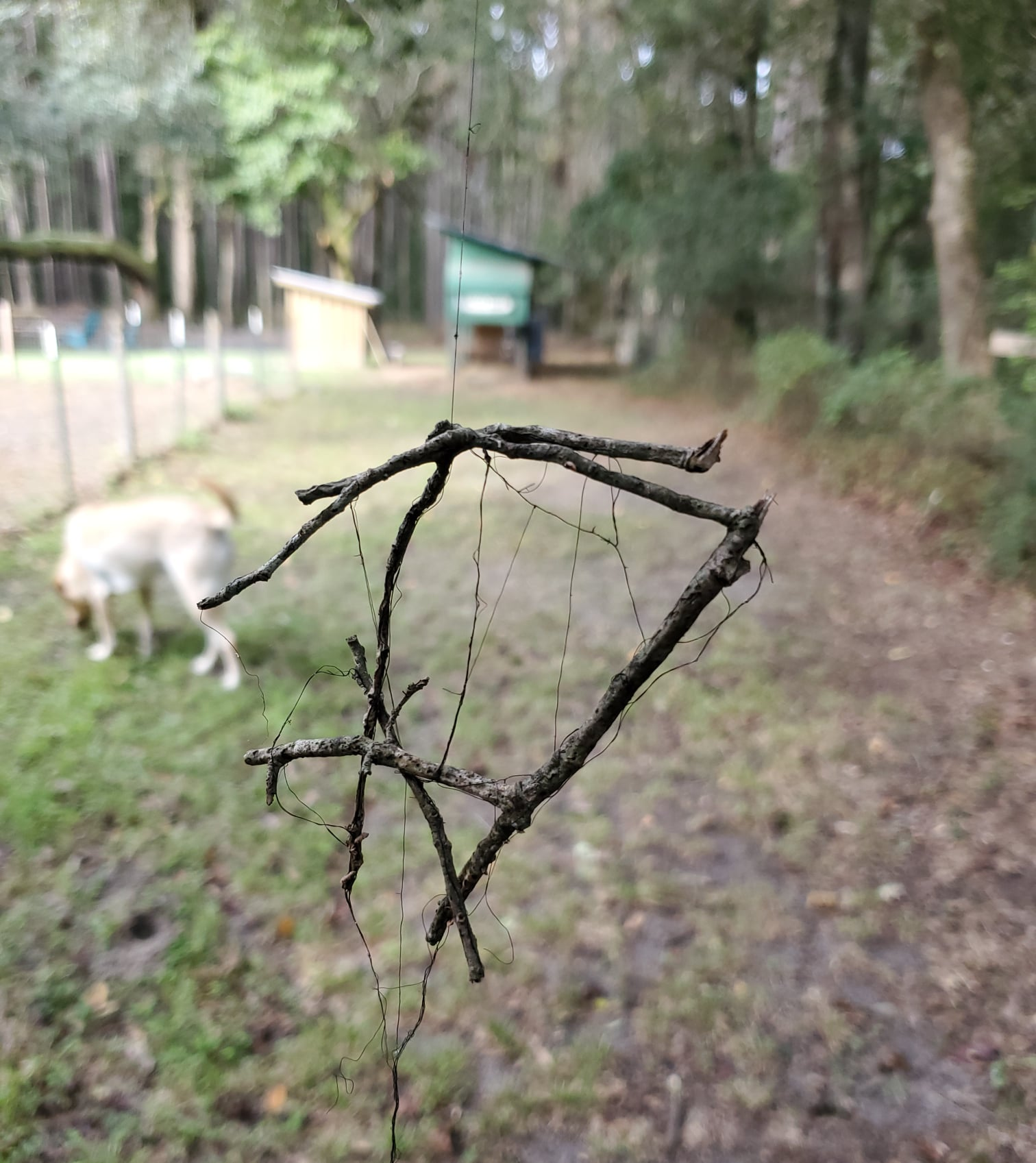 This is a picture of sticks hanging from a tree with grass, a white dog and a fence in the background.