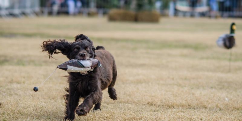This is a picture of a dog running with a duck decoy in its mouth at the Southeastern Wildlife Exposition.